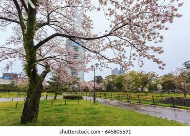 Spring season with sakura cherry blossom during raining in Shizuoka, Japan