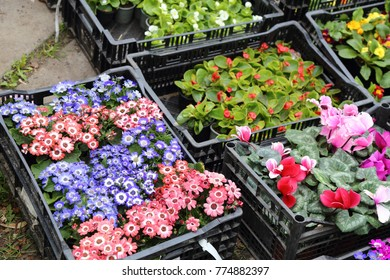 Spring seedlings of flowers in pots and boxes for planting in gardens