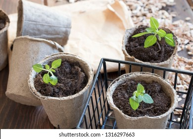 Spring seedlings. Young shoot. Seedlings growing out of fertilized soil in the peat cups. Small plant on a wooden table