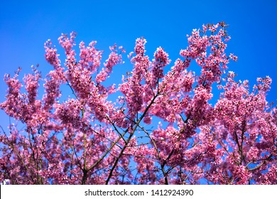 Spring Shidarezakura, Weeping Cherry, Beautiful Pink Cherry Blossom, Blooming Spring Tree, Spring Floral Background, Sakura, Cherry Blossom, Cherry Tree with Flowers