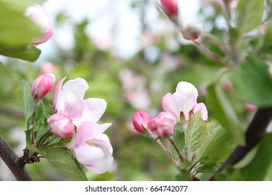 spring shoot of pink flowers of apple tree