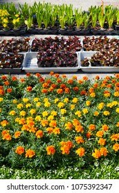Spring shopping in a gardening store, plants put up for sale: hyacinths, begonias, narcissi, marigold in containers and pots.