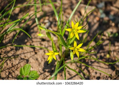 Goose yellow onion images stock photos vectors shutterstock spring small yellow flowers of goose onions gagea in the forest mightylinksfo