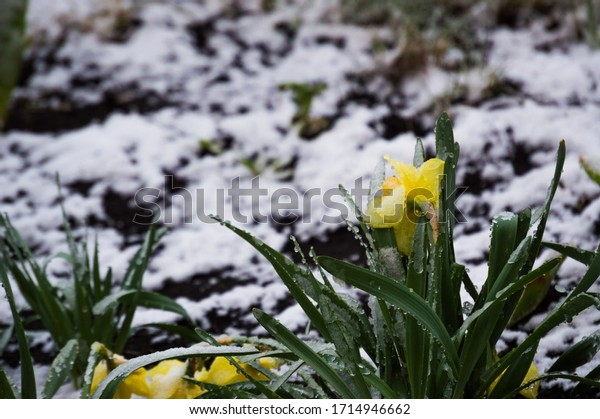 spring-snow-on-daffodils-cold-600w-17149