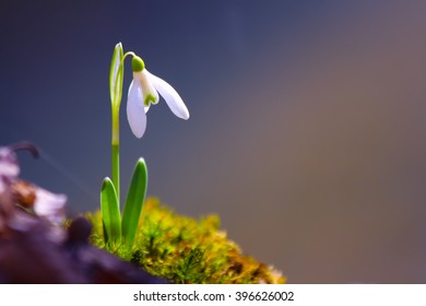 Spring snowdrop flowers blooming in the wild forest