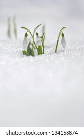 Spring snowdrop flowers with snow