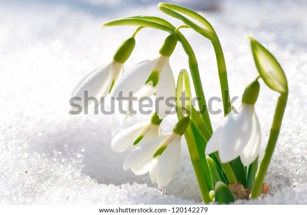 Spring snowdrop flowers with snow in the forest
