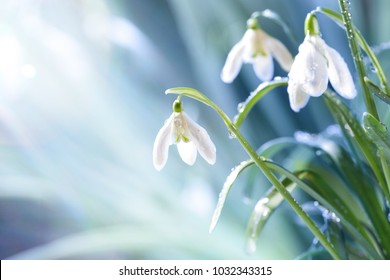 Blue Snowdrops Images Stock Photos Vectors Shutterstock