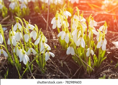 Spring snowdrops. A lot of beautiful snowdrop flowers in nature. Group of Snowdrop flowers blooming in sunny spring day. White small flowers in shape of drops under the bright sun.