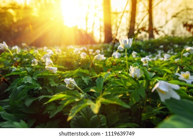 Spring snowdrops flowers in a forest, sunset on background.
