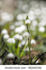 Spring snowflake flowers - Leucojum vernum