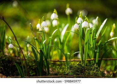 Spring snowflake (Leucojum vernum) in Peklo valley between town Ceska Lipa and willage Zahradky in Czech republic