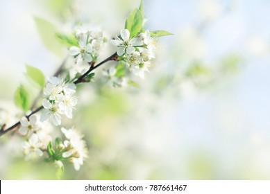 Spring soft background with fresh apple blossom flowers, blurred delicate light blue and green tones.