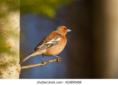 Spring songbird chaffinch sitting on a branch
