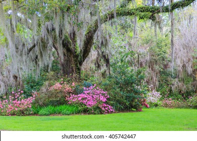Spring southern garden with live oak tree, hanging moss, and colorful pink azaleas in Charleston, South Carolina.