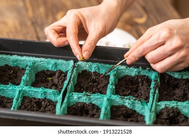 Spring sowing of seeds and planting of seedlings of agricultural plants. Women's hands sow sprouted seeds with green sprouts in containers with moist, fertile soil. Spring planting
