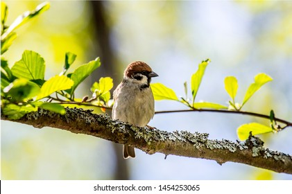 Spring Sparrow. Eurasian tree sparrow (Passer montanus) sitting on a branch with beautiful lichens and young green foliage of alder