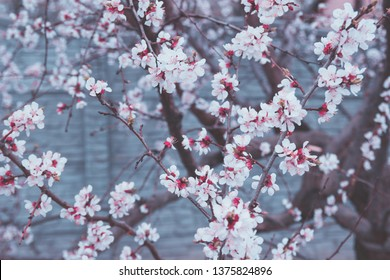 Spring spirit: Many apricot blooming branches in muted blue color scheme - lynch and botticelli colors