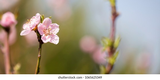 Spring, springtime concept - web banner of pink peach tree flowers with blank, copy space