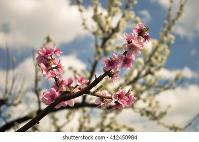 spring sprouting, flowering tree branches