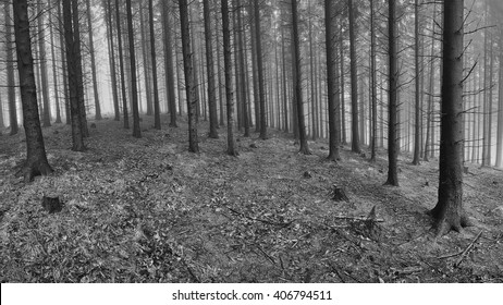 Spring spruce forest with mist in the background