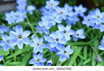 Spring Starflower Images Stock Photos Vectors Shutterstock