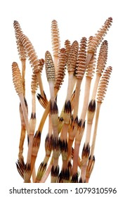 Spring stems and young sprouts of forest plant horsetail. Isolated on white studio macro shot