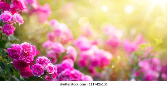 Spring or summer floral background; pink rose flower against the sunset sky
