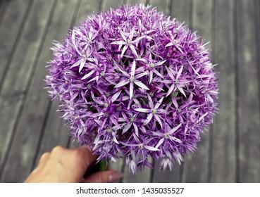 Spring / Summer - Hand holding Allium bulb flower.  spring.
