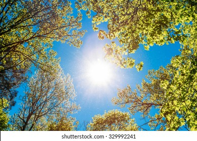 Spring Summer Sun Shining Through Canopy Of Tall Trees. Sunlight In Deciduous Forest, Summer Nature, Sunny Day. Upper Branches Of Tree With Fresh Green Foliage. Low Angle View. Woods Background