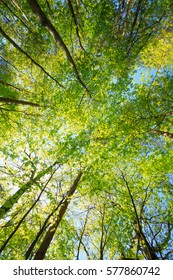 Spring Summer Sun Shining Through Canopy Of Tall Maple Trees. Summer Nature, Sunny Day. Upper Branches Of Tree With Fresh Green Foliage. Woods Background. Greenery, Green Color - Trend 2017