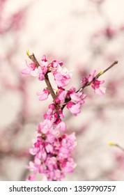 Spring sun shining on dainty pink Eastern Redbud tree flowers