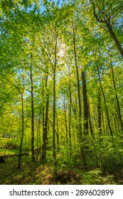 Spring Sun Shining Through Canopy Of Tall Trees. Upper Branches Of Tree. Sunlight Through Green Tree Crown