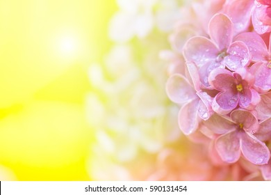 spring Sunny background with lilac flowers in drops of dew in the sunlight.