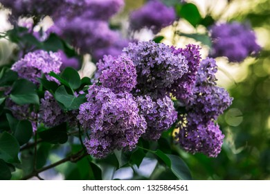 Spring. Sunny. The first green is dissolved. The lilac blossoms. Effervescent, fluffy, purple May lilac. Its branches resemble a huge bouquet of flowers. - Shutterstock ID 1325864561