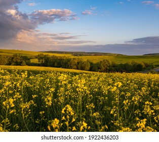 Spring sunset rapeseed yellow blooming fields view, blue sky with clouds in evening sunlight. Natural seasonal, good weather, climate, eco, farming, countryside beauty concept.