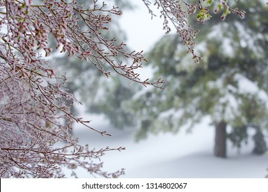 A spring surprise snow storm with a Pink Coral Bark Japanese Maple tree in the foreground and redwood trees in the blurred background.
