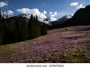 Spring in Tatra Mountains, Poland; Kalatowki Glade full of crocuses