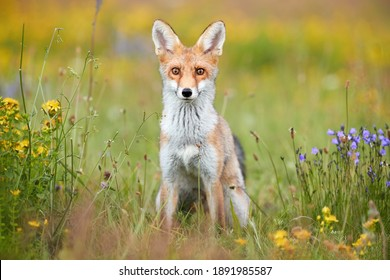 Spring theme. Portrait of Red Fox puppy on a flowering  highland meadow. Fox among blue and yellow blossoms. Direct view, low angle photo of lovely Red Fox cub, Vulpes vulpes. Animals in spring nature