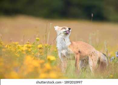 Spring theme. Red Fox cub playing on a flowering  highland meadow. Fox among blue and yellow blossoms. Low angle photo of lovely Red Fox cub, Vulpes vulpes. Animals in spring nature.