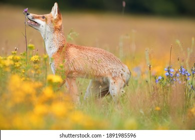 Spring theme. Red Fox puppy playing on a flowering  highland meadow. Fox among blue and yellow blossoms. Low angle photo of lovely Red Fox puppy, Vulpes vulpes. Animals in spring nature.
