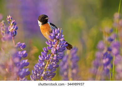 Spring theme, singing bird, Stonechat, Saxicola torquata  perched on a blue and purple flower  in colorful  spring meadow lit by setting sun. Spring season in czech highland, vibrant spring colors.