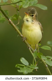 Spring themes. Singing songbird on a twig of rose against a blurry green background. Vertical photo of bird imitator Icterine Warbler, Hippolais icterina. Birding in the Czech Republic, Europe.