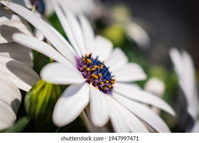 Spring time annual plant blooming white osteospermum ecklonis