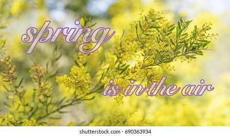 Spring time in Australia with yellow wattle flowers blossoming and bokeh background with text spring is in the air