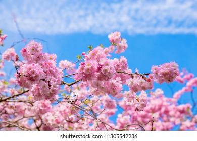 Spring time. Blooming sakura tree. Pink and white flowers of sakura cherry. Spring symbol.