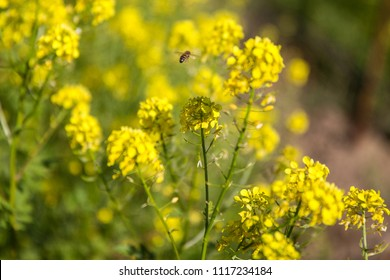 Spring Time Blooming Yellow Mustard Flowers with Honey Bee In Napa Valley, CA
