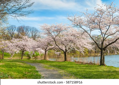 Branch Brook Park Cherry Blossom Festival 2020.Fotos Imagenes Y Otros Productos Fotograficos De Stock