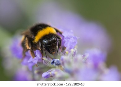 Spring time. bumblebee on purple lavender flowers. Black and yellow arthropod eating on a violet flower - Shutterstock ID 1925182418
