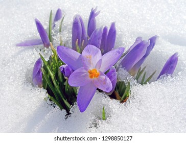 Spring time- first crocus blossoms in snow
